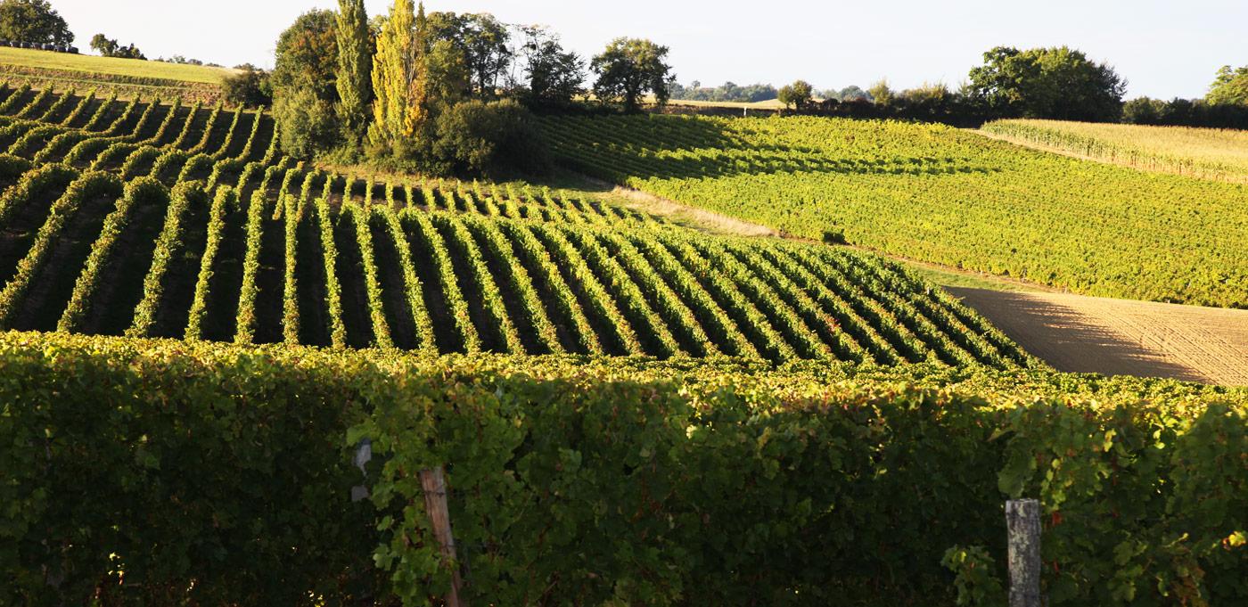 Les vignobles des vins Saint Mont